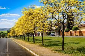 Árvores com flores amarelas